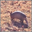 armadillos walking on lawn