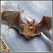 Bat Removal and Information