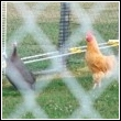 chickens safely fenced in