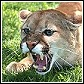 mountain lions and cougars