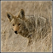 coyote hiding in grass