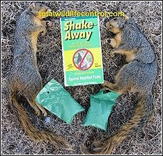 dead squirrels