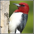 the potentially destructive red headed woodpecker