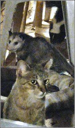 Feral Cat Food Opossum