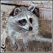 raccoon coming out of a hole in a house