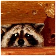 raccoon found by the skunk whisperer in a grand lake attic