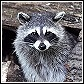 Raccoons Control and Information