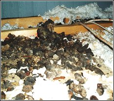 feces piled up high in a homeowner's attic