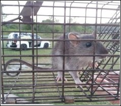 rat in live trap
