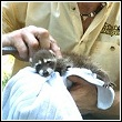 Ned Bruha reviving a baby raccoon