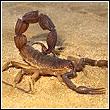 scorpion up close