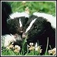 Skunk Control and Information