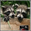 baby raccoons admiring a can of soda pop