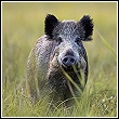 wild hog in tall grass