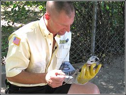ned bruha rehydrating young possom during a wildlife removal job