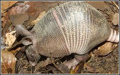armadillo digging on lawn