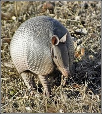 armadillo out looking for food