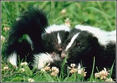 mother and baby skunk