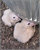 two baby barn owls living in a residential chimney
