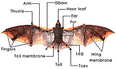 Vampire bat diagram library of wiring diagram bat facts rh totalwildlifecontrol com vampire bat echolocation vampire bat wingspan ccuart Images