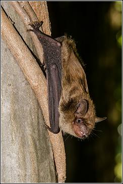 big brown bat clinging to tree