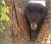 bear found in a tree in claremore, oklahoma