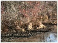 third of three beaver dams along the shoreline