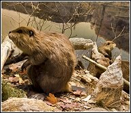 Interesting Beaver Facts