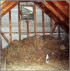 bird nest in attic