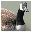 goose close up