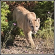 cougar emerging from brush