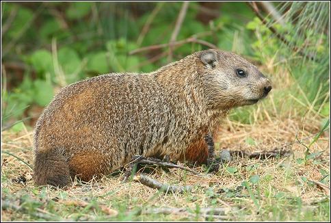 Woodchuck vs groundhog