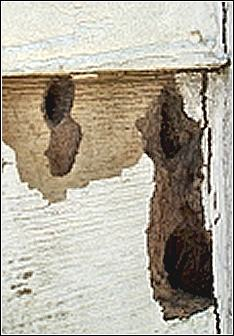 an example of woodpecker damage to home siding