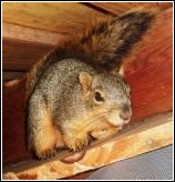 mother squirrel in attic