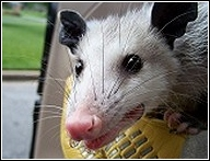 young opossum close up