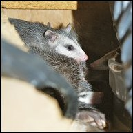 opossum utilizing a stove vent to get inside home