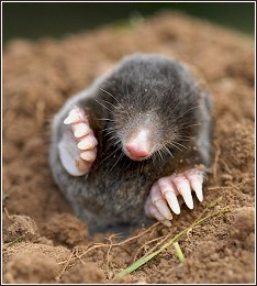 Close up of a Mole Showing Forefeet