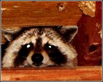 raccoon peaking out from behind attic rafters