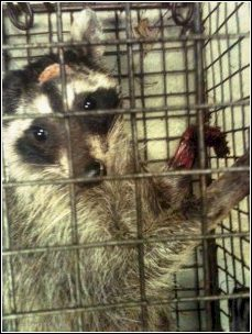 raccoon in trap with injury