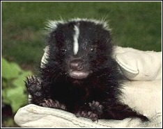 baby skunk rescued by oklahoma city skunk whisperer chris greenlie