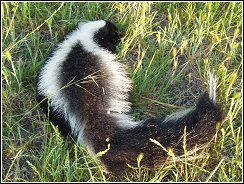 skunks are a common problem in the choteau area due to lake hudson and the neosho river