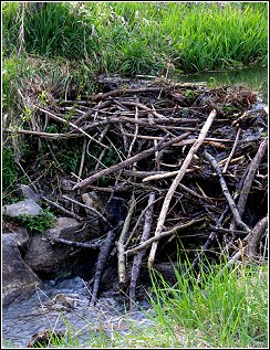 beaver dam construction in small creek
