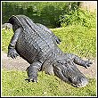 an American alligator in Florida