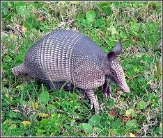 armadillo enjoying the grass