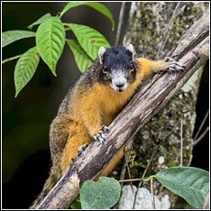 the big cypress sub-species of the fox squirrel