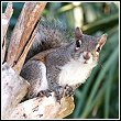 cape coral area squirrel