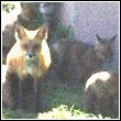 fox mother with pups in the middle of a busy amusement park area