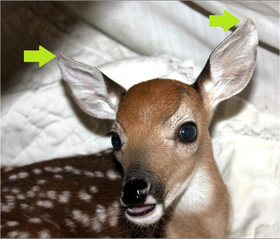 fawn with curled ears, indicating malnutrition