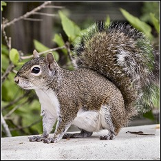 the southern gray squirrel commonly found in the boca grande area