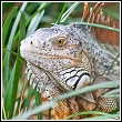 an example of an iguana found in florida